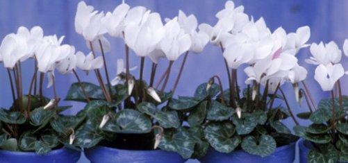 Почему не цветет цикламен в домашних условиях