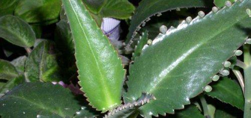 травы от паразитов в печени